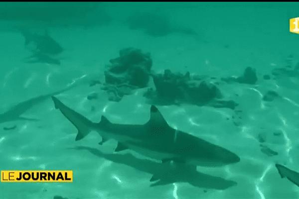 Le kite surfeur de Huahine mordu par un requin pointe noire