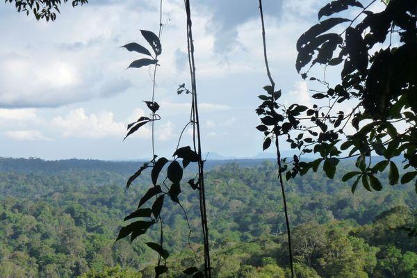 La forêt vue depuis la trijonction entre le Brésil, la Guyane et le Surinam