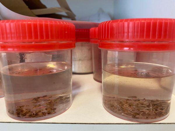 Larves moustiques Wolbachia. Dengue