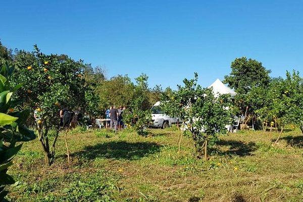La cueillette des agrumes à Petite Ile.