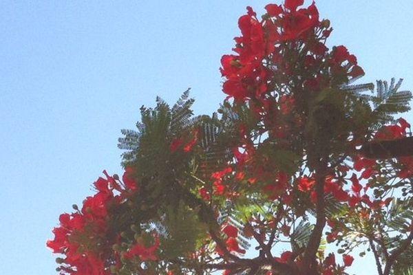 flamboyants en fleurs 2