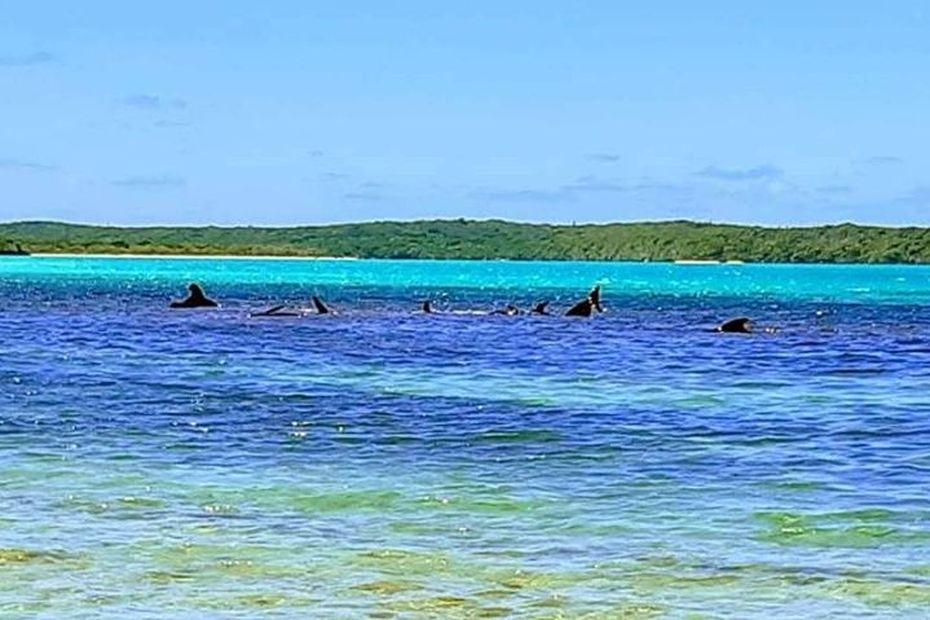 Des cétacés échoués à l'Ile des Pins [MàJ] - Nouvelle-Calédonie la 1ère