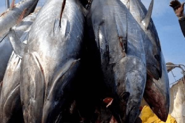 Le thon cible privilégiée des pêcheurs européens dans la Pacifique