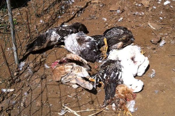 La Réunion : Poules tuées par chiens errants 2