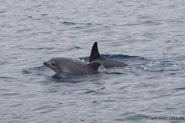 dauphins opérations cétacés