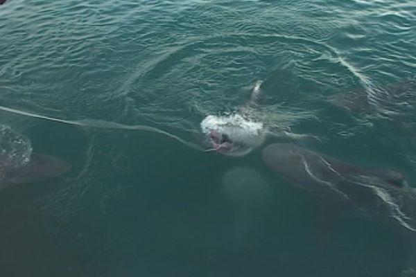 Des requins près du quai des pêcheurs à Nouville