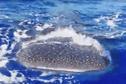 Le requin-baleine le plus affectueux des Tuamotu