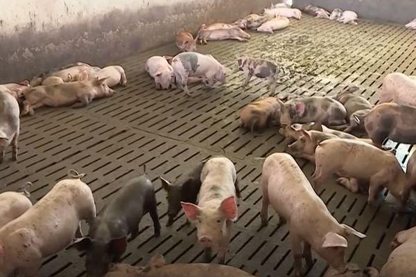 Guyane : un risque d'introduction de la peste porcine africaine