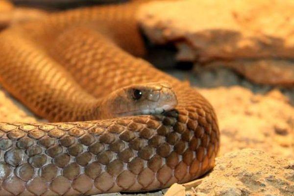 Serpent taipan