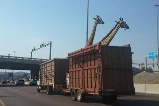 Girafe camion afsud