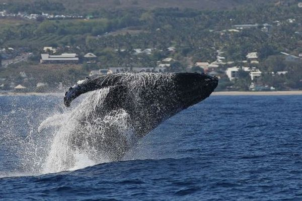 Cinq fois moins de baleines que l'an dernier à La Réunion