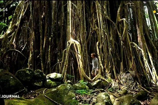 La majesté des arbres de Nuku Hiva