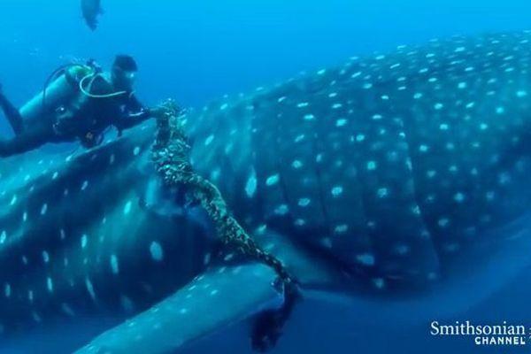 Mexique : entravé par une corde, un requin-baleine libéré par un plongeur