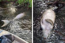 Un dugong a été retrouvé mort à Nessadiou le 29 mai 2021