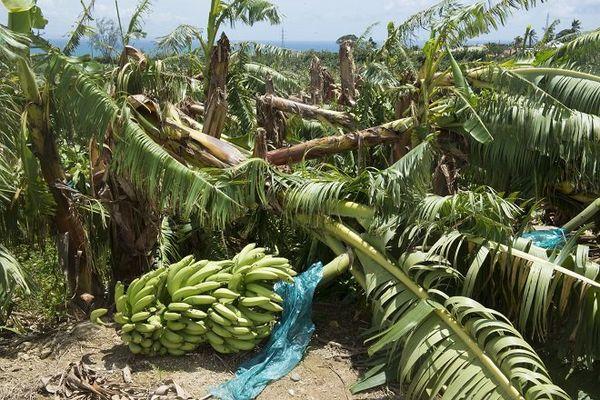 Bananeraie détruite