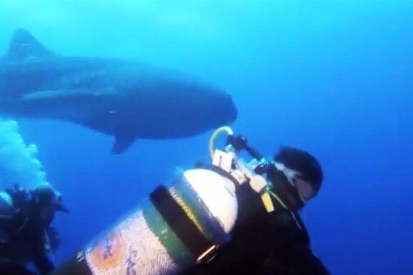 requin baleine pointe au sel