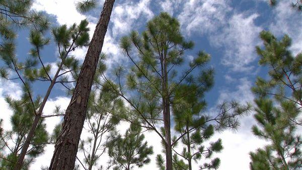 Pinus, mars 202