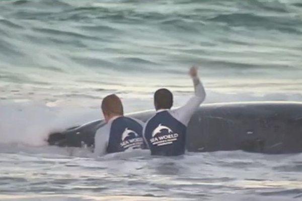 Le baleineau remis à l'eau