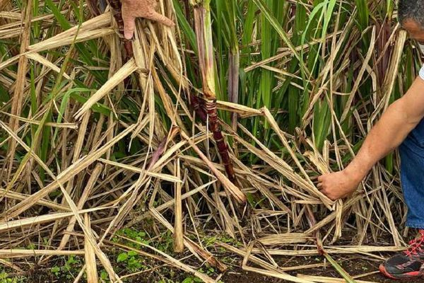 La campagne sucrière prendra fin le 5 décembre dans le Sud