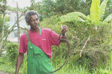 Raymond, le chasseur de serpents, vient de capturer un petit trigonocéphale près des maisons.