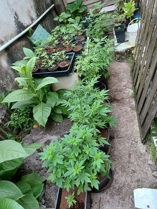 Saisie de plants de cannabis, dans un jardin d'intérieur