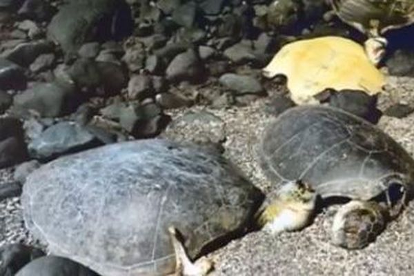 Carcasse tortue