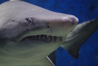 Nouvelle attaque de requin en Australie
