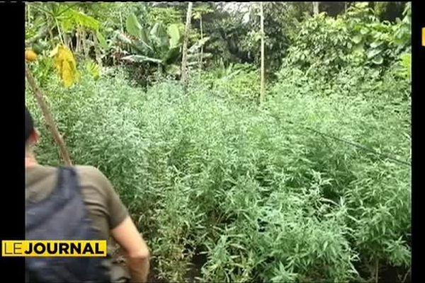 6000 plants de cannabis saisis