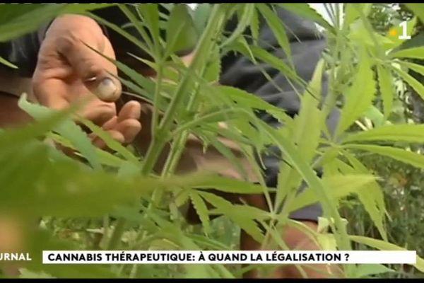 La culture du cannabis thérapeutique au programme du plan de relance