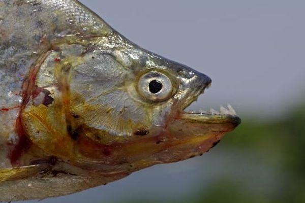 Piranha rouge du Brésil