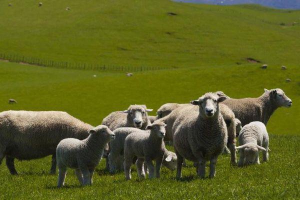 Des moutons dans parc national de Tongariro, en Nouvelle-Zélande, le 11 novembre 2013