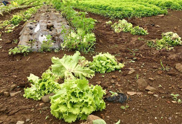 Salades les makes détruites par la pluie