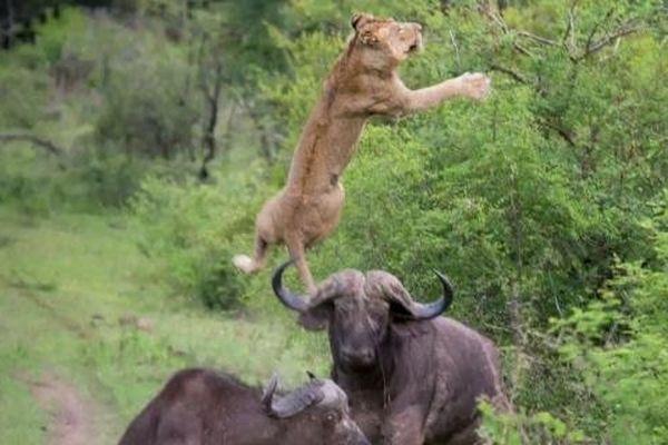 Buffle attaque lion