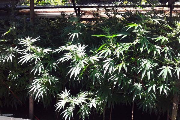 Plus de 5800 pieds de cannabis détruits