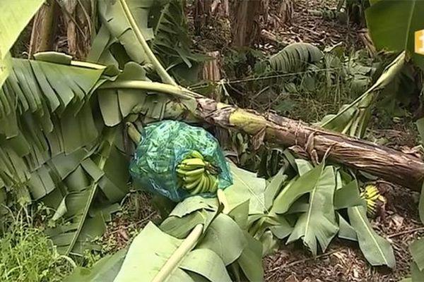 Bananes endommagées
