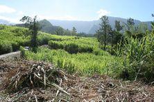 Champ de canne à sucre à Salazie, dans les Hauts de La Réunion
