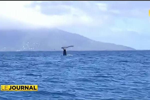 A la découverte des baleines avec Mata Tohora