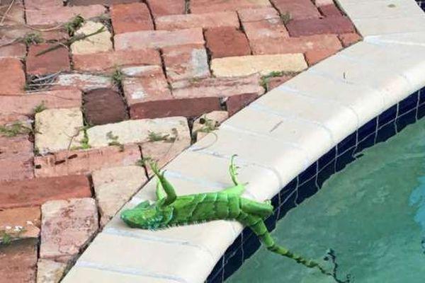 Iguane congelé