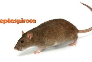 rat leptospirose