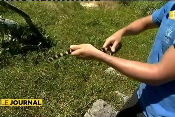 Serpents de Nouvelle-Calédonie : capturés mais toujours relâchés