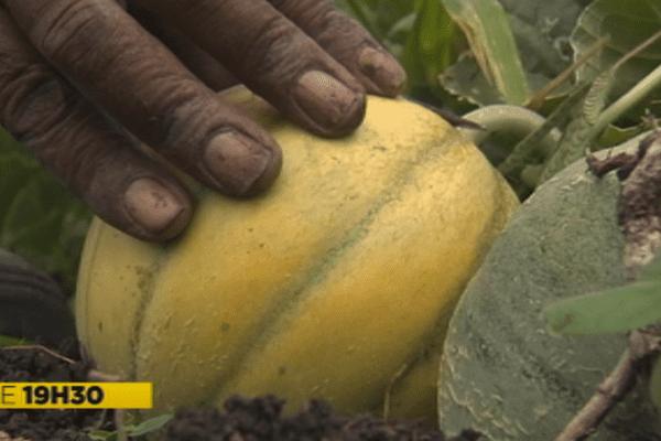 Récolte de melons