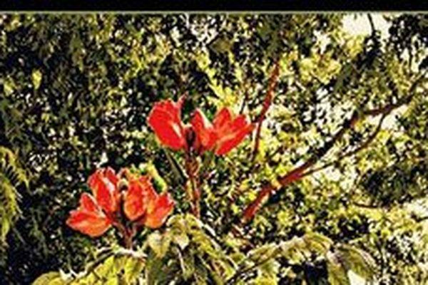 Le tulipier du Gabon