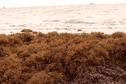 L'algue Sargasse envahit les plages du littoral