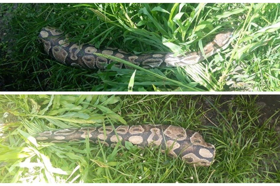 Elle retrouve un python coupé en deux devant sa maison - Guadeloupe la 1ère