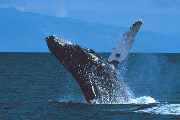 Baleine dans le chenal entre Tahiti et Moorea