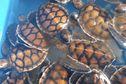Futuna : un couple recueille et élève des bébés tortues