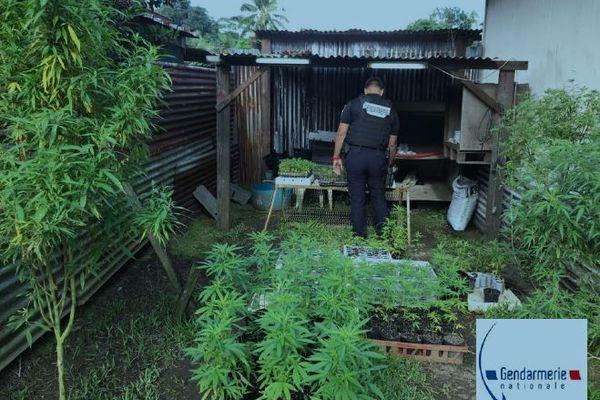 Paka : 2 plantations découvertes à Papara et Teva I Uta, 558 pieds saisis et détruits