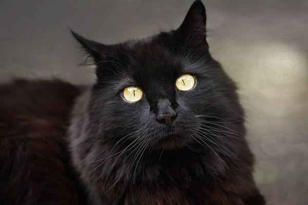 Chat noir de Moscou