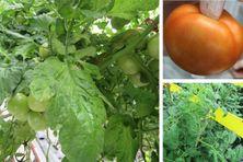 Pieds de tomate et tomate affectés par le PepMV.