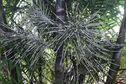 Quelques palmiers emblématiques de Guyane : le wassay ou le palmier Euterpe oleracea - 1